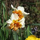 Friends Forever - Beautiful Narcissi by Kathryn Jones