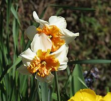 Friends Forever - Beautiful Narcissi by kathrynsgallery