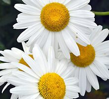 daisies abstract by by-jwp