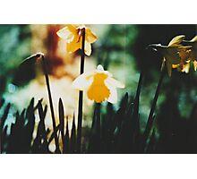 Daffodils 1 Photographic Print