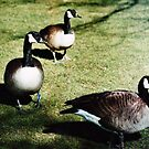 Three Geese by Maisie Woodward