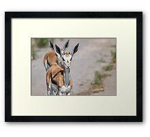 Springbok Tailgater Framed Print