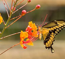 Summer Butterfly by Colin Bester