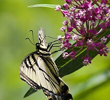 Beautiful Swallowtail Butterfly by Christina Rollo
