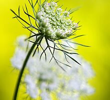Queen Anne's Lace Flower by Christina Rollo
