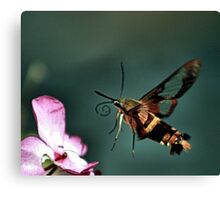 BUTTERFLY OR MOTH Canvas Print