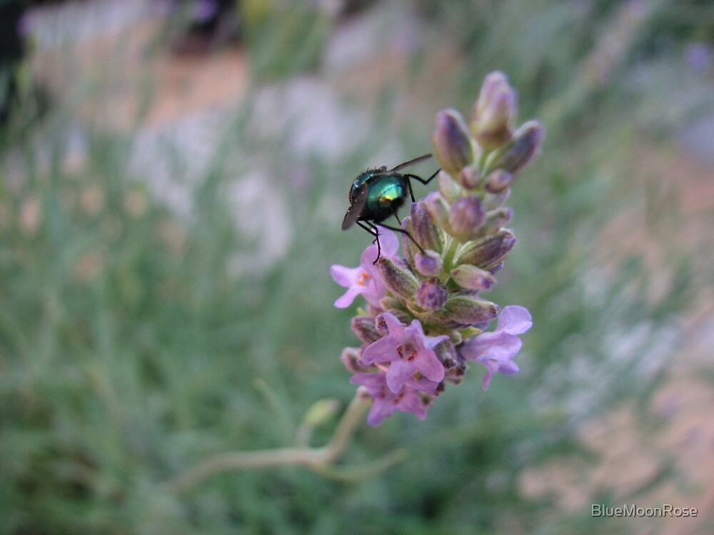 Dawn Visitor - Glowing Insect on Lavender Flower by BlueMoonRose