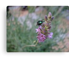 Dawn Visitor - Glowing Insect on Lavender Flower Canvas Print