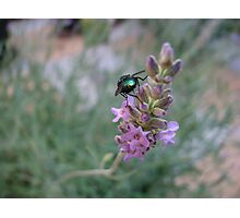 Dawn Visitor - Glowing Insect on Lavender Flower Photographic Print