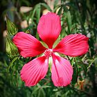 Scarlet Swamp Hibiscus  by Cynthia48