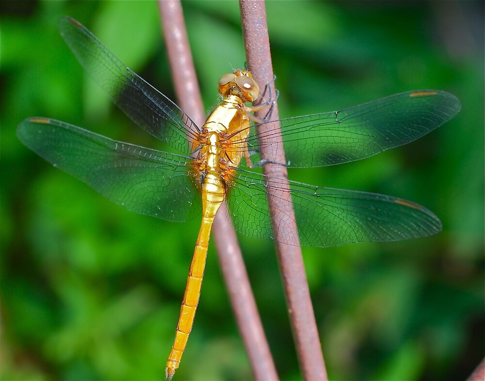 Dragonfly Dancer by Penny Smith