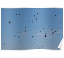 A Multitude of Murres in Flight Near Bay Bulls, NL, Canada Poster