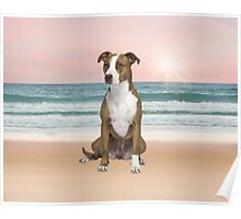 Cute Pitbull Dog Sitting on Beach with sunset Poster