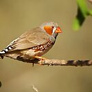 Zebra Finch - Red Cliff Gorge NT by D-GaP
