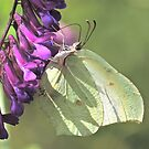 Brimstone & Vetch by dilouise