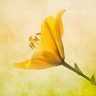 Lemon Lily by peaky40