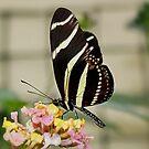 Zebra Longwing Butterfly on Lantana by AnnDixon