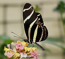 Zebra Longwing Butterfly on Lantana by AnnDixon