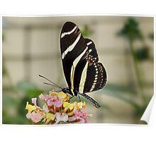 Zebra Longwing Butterfly on Lantana Poster