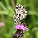 Marbled White by dilouise