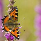 Small Tortoiseshell Butterfly by M.S. Photography & Art