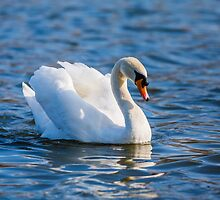 Majestic Swan by Dave  Knowles