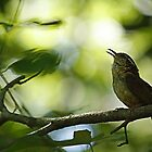 South Carolina wren by Manon Boily