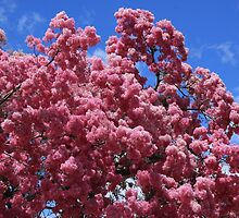 Tree With Pink Blossoms by rhamm