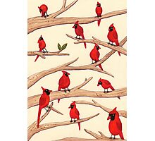 Cardinals Photographic Print