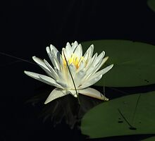 White Water Lily in a Lake by rhamm