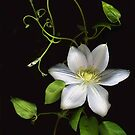 White Clematis and Vine by Barbara Wyeth