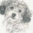 Another Cavachon  by BarbBarcikKeith