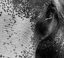 Close-up shot of Asian elephant head Sticker