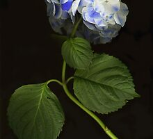 Baby Blue Hydrangea by Barbara Wyeth