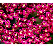 Little Pink Flowers Photographic Print