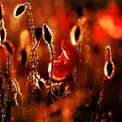 Red warm Poppies by SteveHphotos