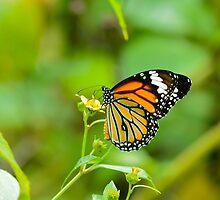 Butterfly by Patrick Belser