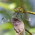 Ruddy Darter Dragonfly by Paul Spear
