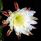 Night Blooming Cactus by Bill Morgenstern