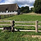Goat at run by HeklaHekla