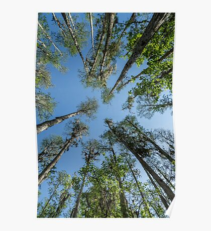 Looking up at the Cypress Trees Poster