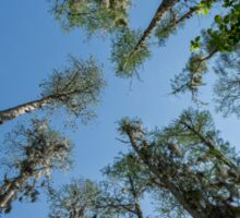 Looking up at the Cypress Trees Sticker