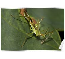 Young Assassin Bug Poster