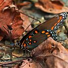 Red Spotted Purple by Otto Danby II
