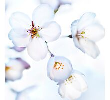 Flowers of Japanese cherry blossom art photo print Photographic Print