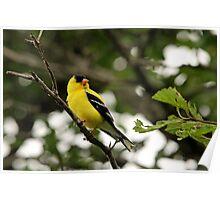 Brilliant Observer Goldfinch Poster
