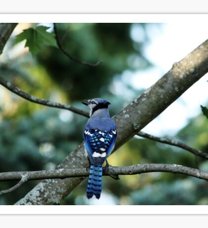 Singing The Blues - Blue Jay Sticker