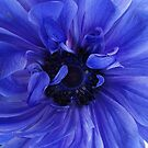 Blue Anemone by kellym