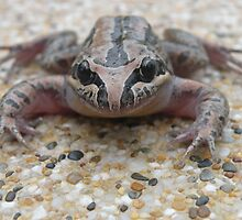 Another Striped Marsh Frog : Limnodynastes peronii by Trish Meyer