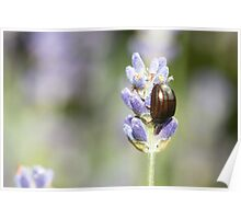 Rosemary Leaf Beetle on Lavender Poster